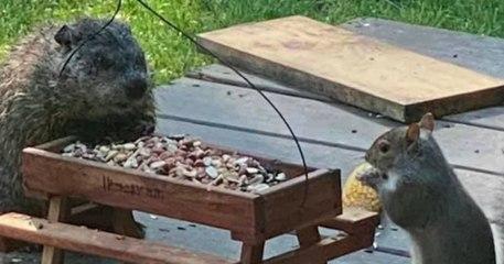 Ces photos d'une marmotte et d'un écureuil partageant leur repas sont à croquer
