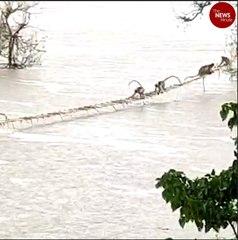50 monkeys stranded on trees in flooded river rescued in Karnataka