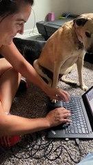 Doggo Interrupting Work Needs Attention