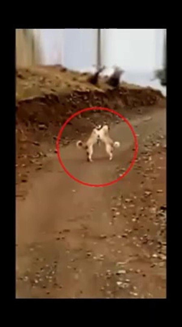 SiVAS KANGAL KOPEKLERi SABAH SPORUNDA - SiVAS KANGAL DOGS MORNiNG EXCERSiZE