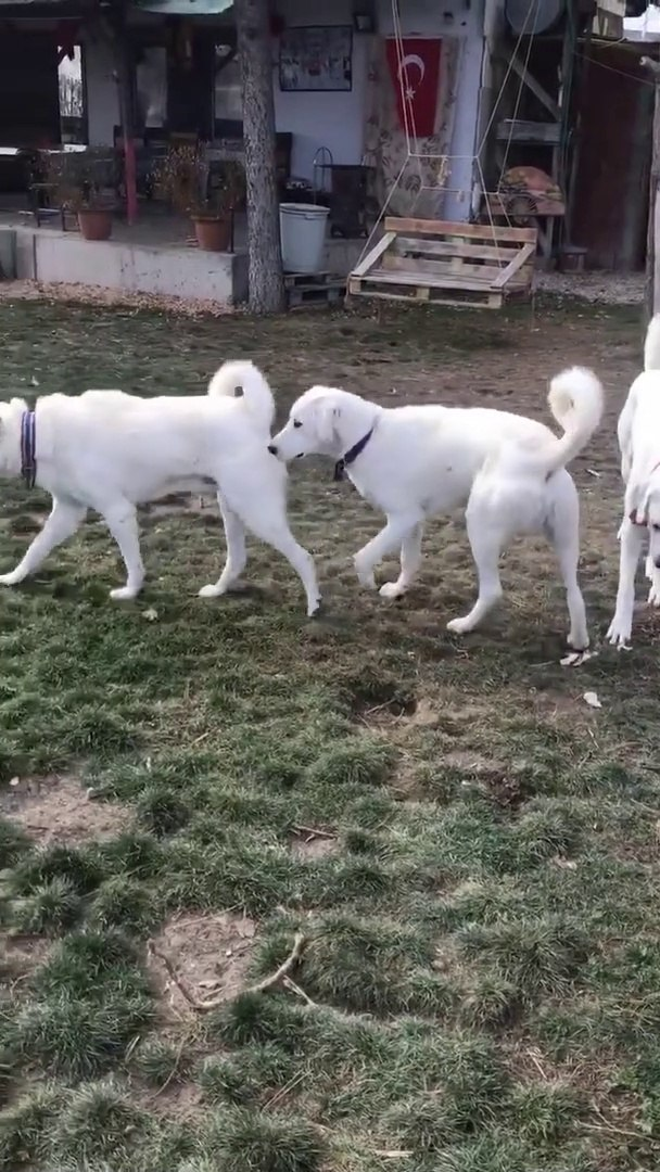 AKBAS COBAN KOPEKLERi - AKBASH SHEPHERD DOGS