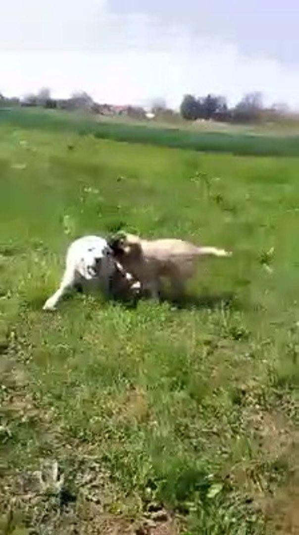 ALABAY vs KAFKAS COBAN KOPEGi vs - ALABAi SHEPHERD DOG vs CAUCASiAN SHEPHERD DOG
