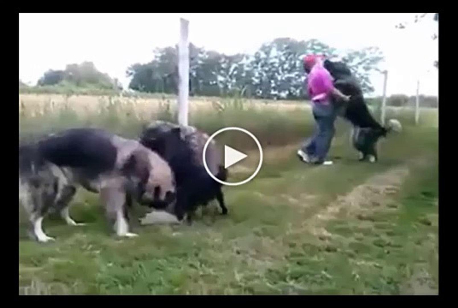 SUS KOPEKLERi vs KAFKAS COBAN KOPEKLERi - FANCY DOG vs CAUCASiAN SHEPHERD DOG