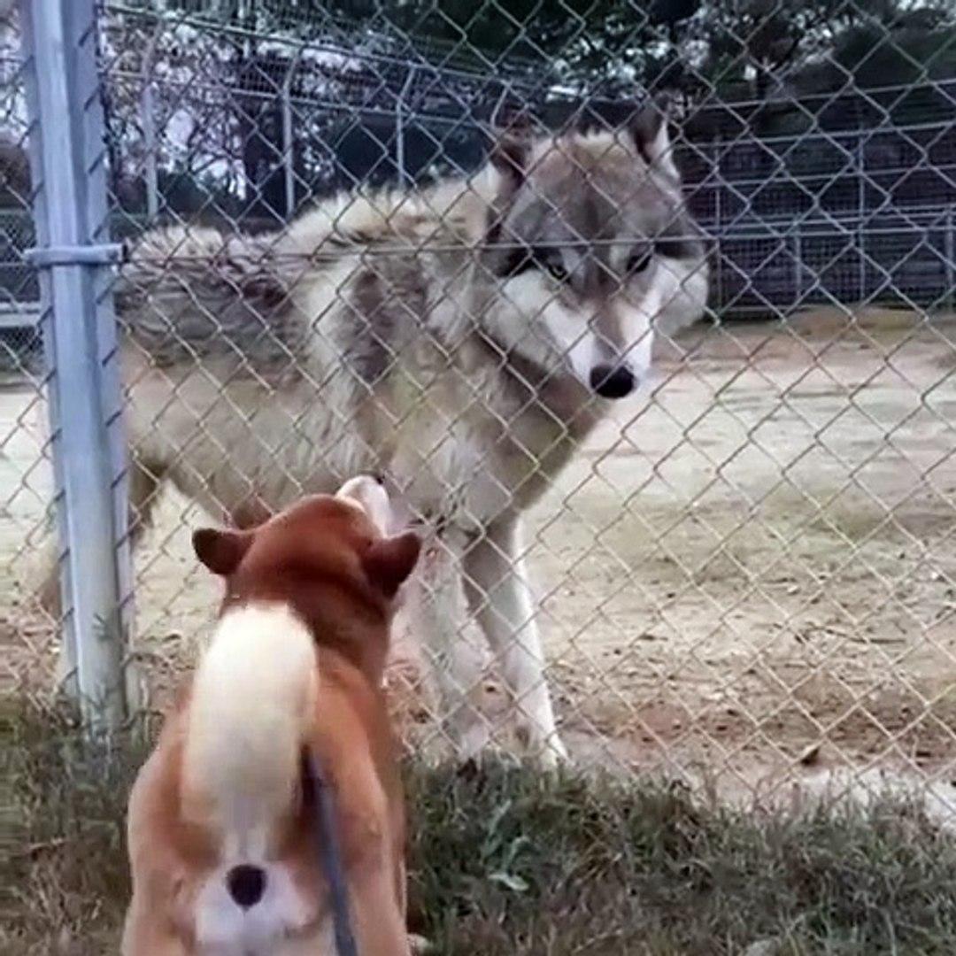 AKiTA KURTA KAFA TUTUYOR - AKiTA DOG VS WOLF