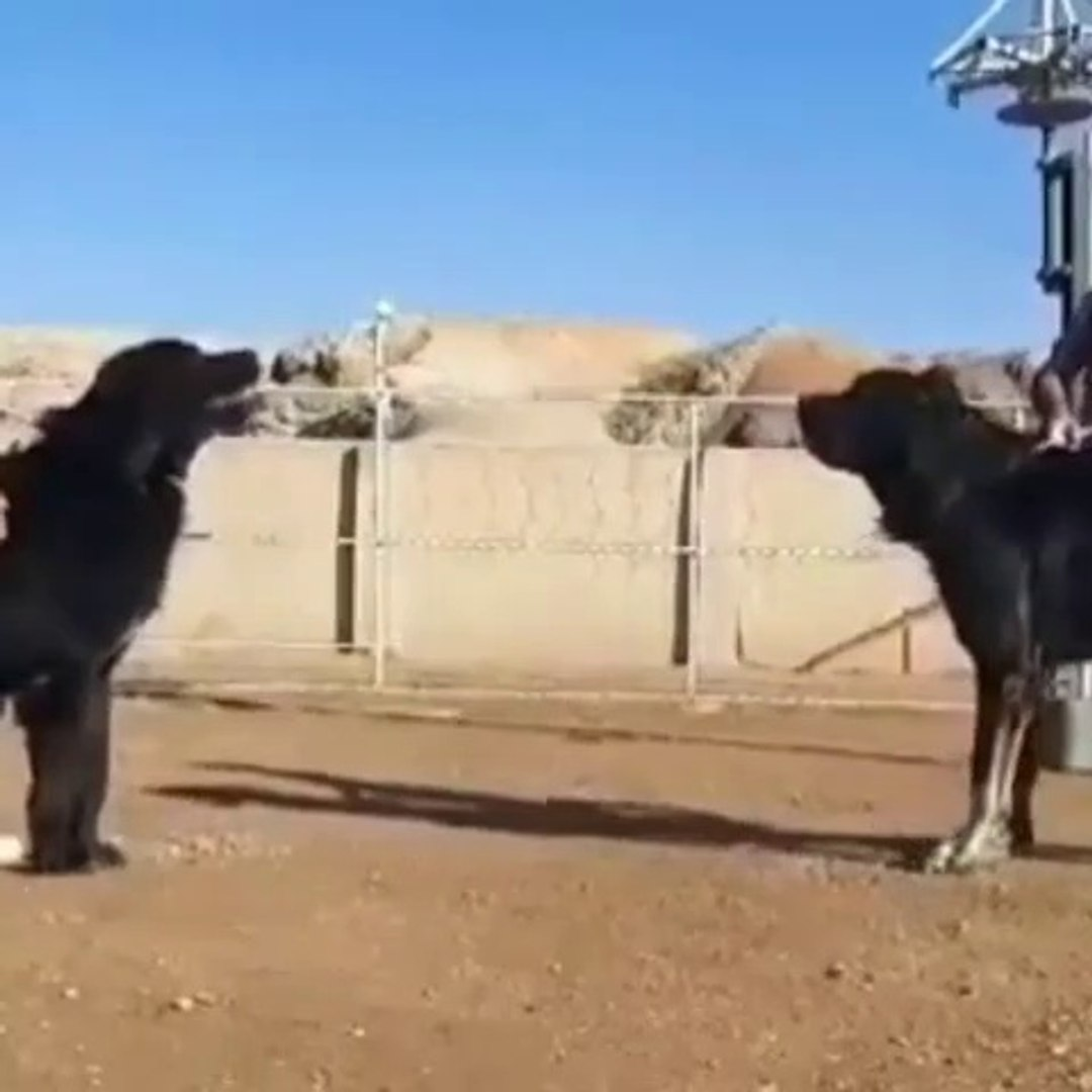 iRAN SARABi COBAN KOPEKLERi ATISMASI - PERSiAN SHEPHERD DOG vs