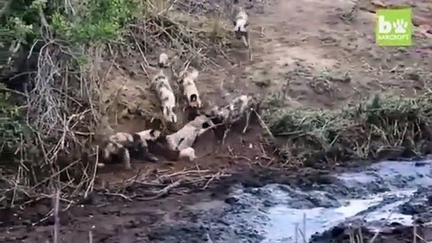 Regardez qui vient sauver une antilope d'une bande de prédateurs