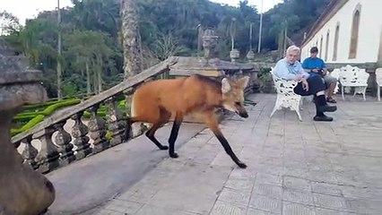 Un loup à crinière mange un bout