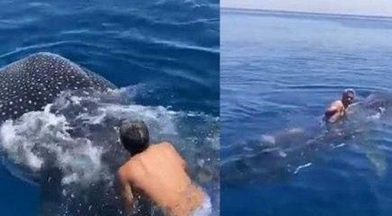 Un hombre saudí salta sobre un tiburón ballena y lo 'cabalga' mientras se aferra a su aleta dorsal