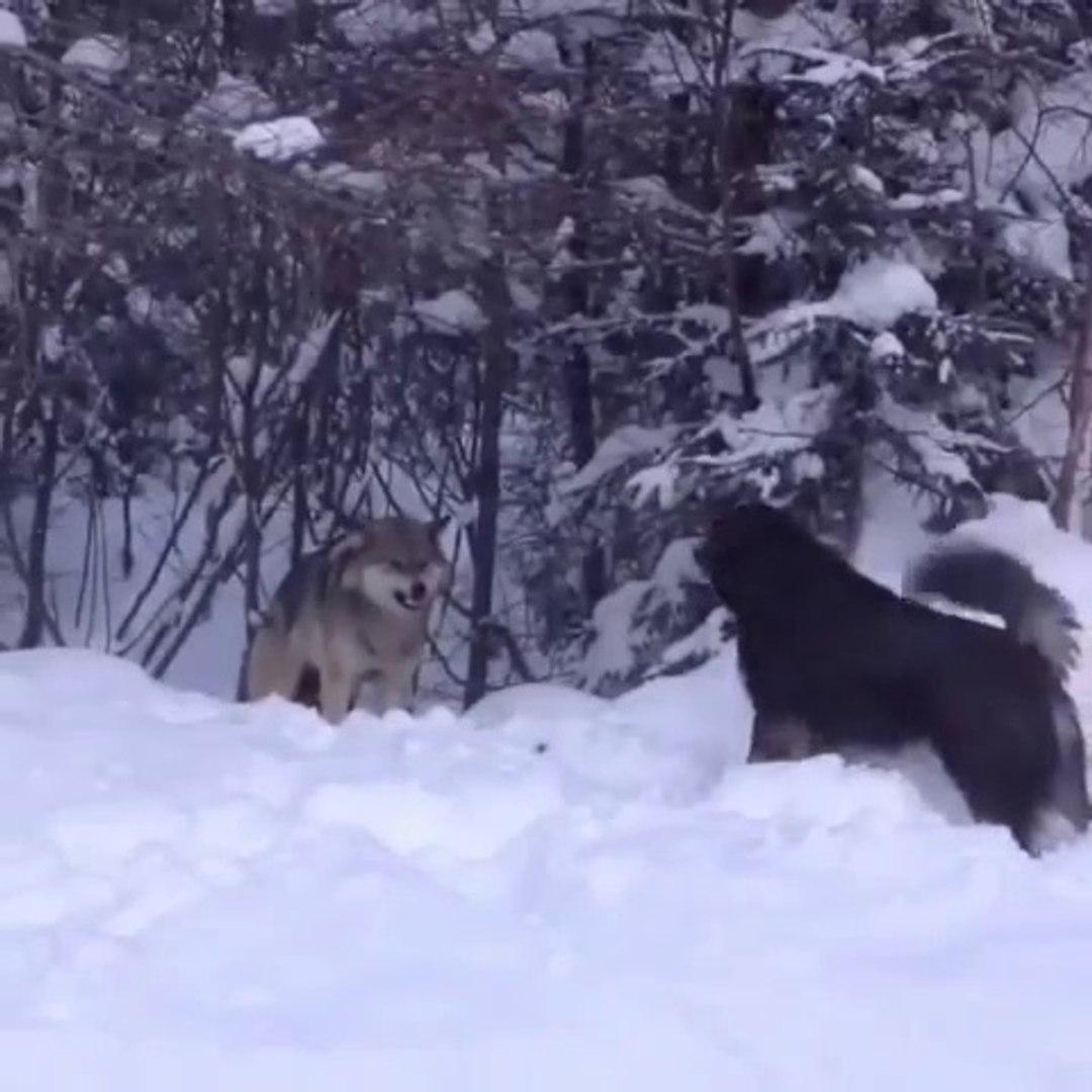KURT VS KOPEK - WOLF VS DOG