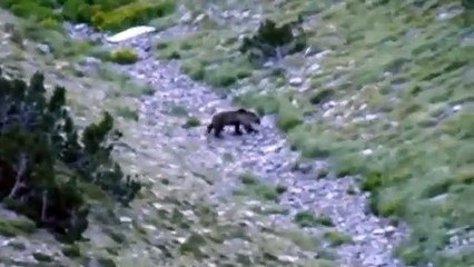 Un ours filmé de très prés par un randonneur en Andorre