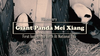 Congratulations to Giant Panda Mei Xiang Gives Birth At National Zoo (First look)