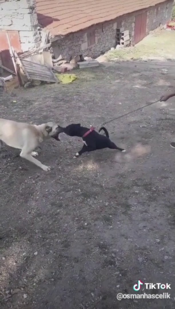 ANADOLU COBAN KOPEGi VS PiTBULL - ANATOLiAN SHEPHERD DOG VS PiTBULL DOG