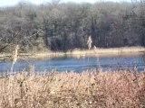 Envol de cygnes au dessus d'un étang