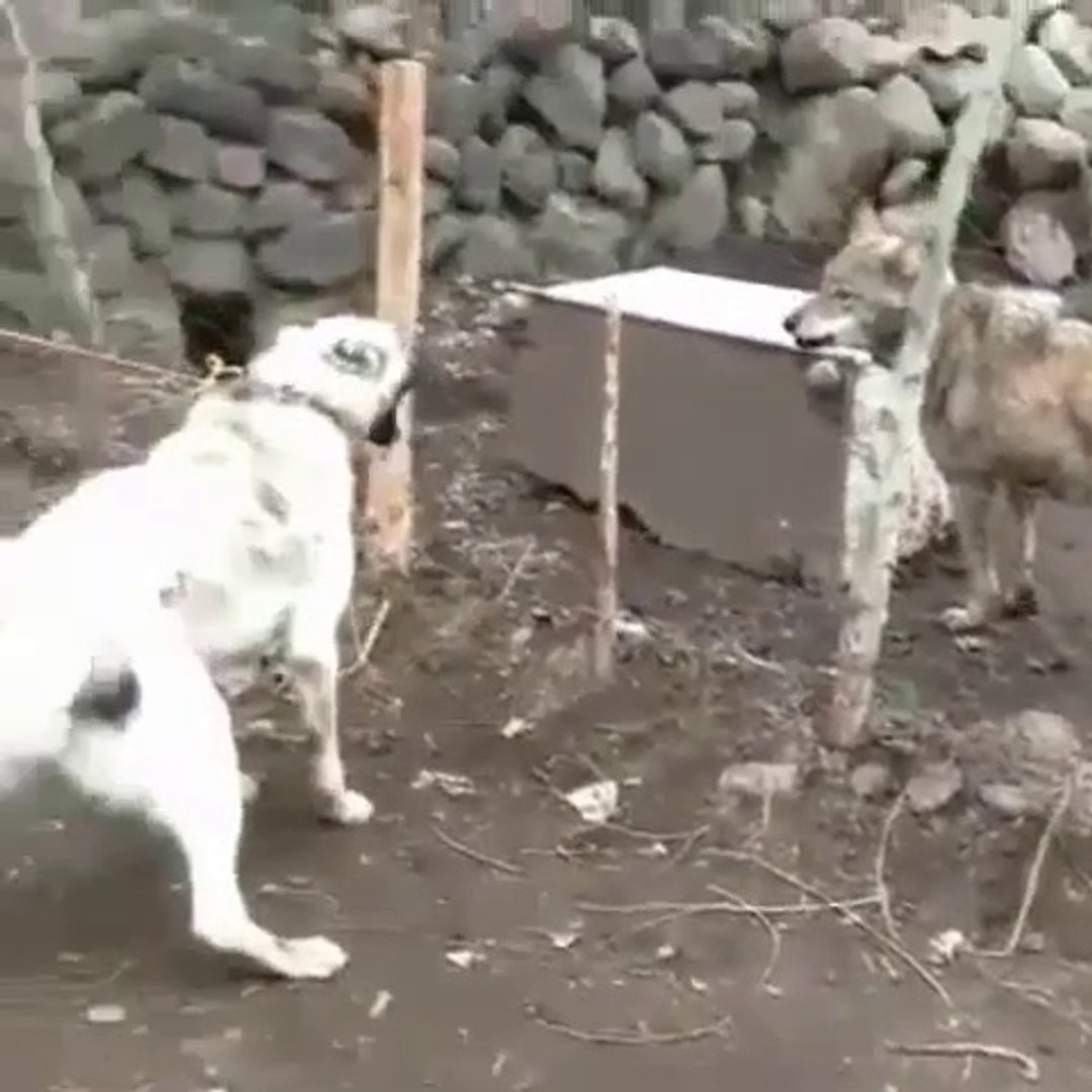 SiVAS KANGAL KOPEGi ve KURT KARSILASMASI - KaNGAL DOG and WOLF vs