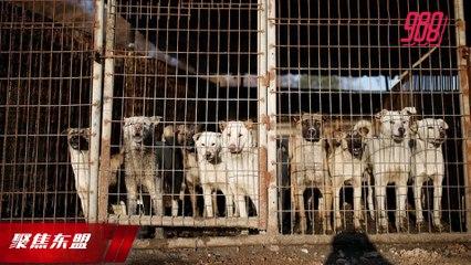 【聚焦东盟 08-09-20】每年吃掉百万只狗  印尼民团呼吁禁食