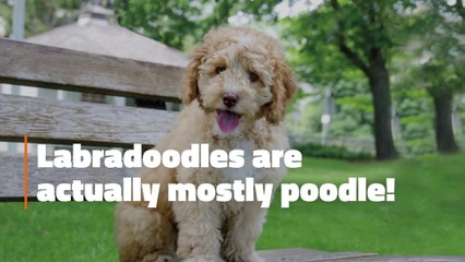 The Labradoodle Facts