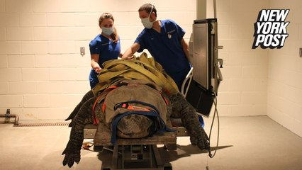 Bob the 600-pound alligator is in pain