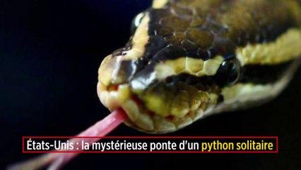 États-Unis : la mystérieuse ponte d'un python solitaire