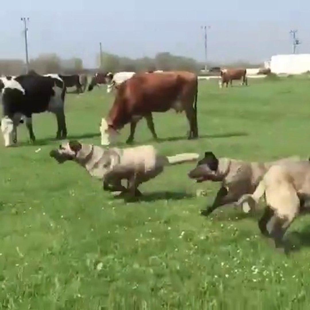 SiVAS KANGAL KARDESLER SEViMLi OYUNLARI - ANATOLiAN SHEPHERD SiVAS KAGAN DOGs PLAY