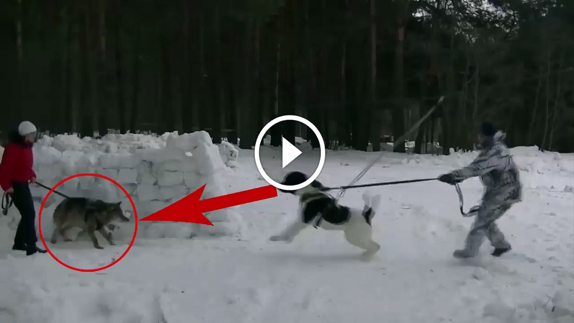 ALABAY COBAN KOPEGi vs KURT KARSILASMASI - ALABAI SHEPHERD DOG vs WOLF