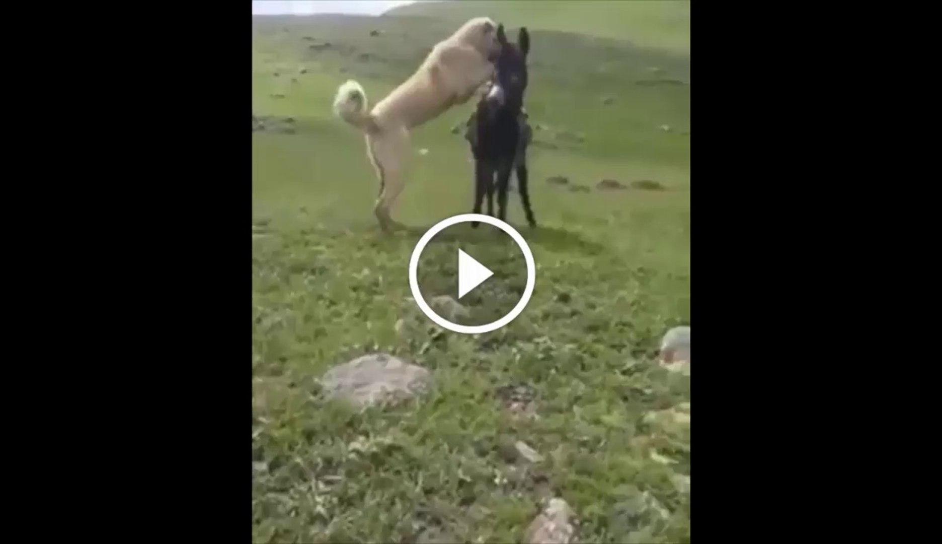 ESSEK KADAR ANADOLU COBAN KOPEGi - ANATOLiAN SHEPHERD DOG and DONKEY PLAY