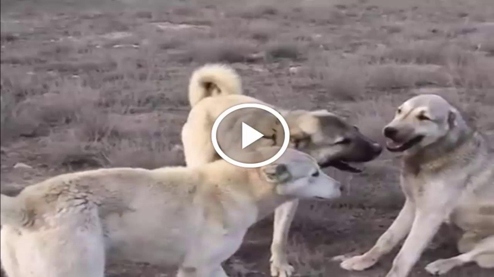 KOYUN NOBETiNDE HAZIR BEKLEYEN ANADOLU COBAN KOPEKLERi - ANATOLiAN SHEPHERD DOGS