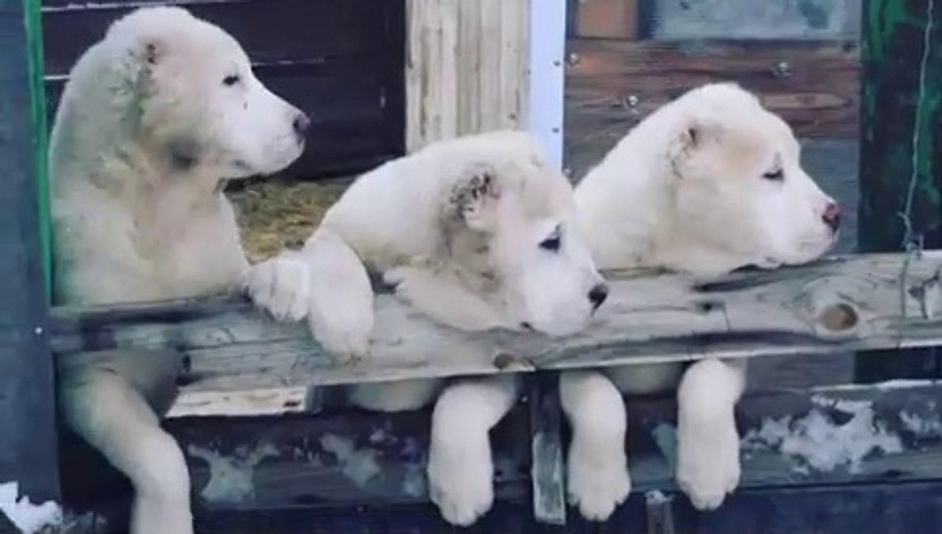TURKMEN ALABAY COBAN KOPEK YAVRULARI - TURKMEN ALABAi SHEPHERD DOG PUPPiES