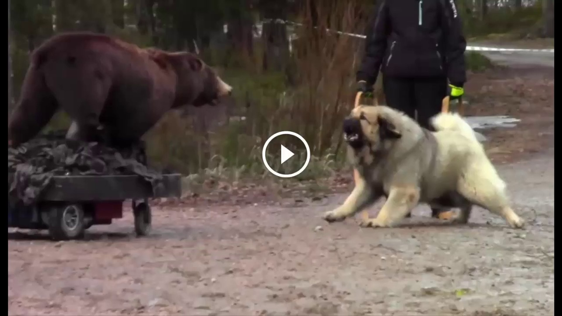 KAFKAS COBAN KOPEGi vs AYI - CAUCASiAN SHEPHERD DOG vs BEAR