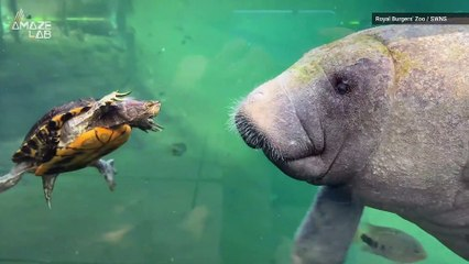 Check Out This Territorial Turtle Adorably Try to Take on a Massive Manatee