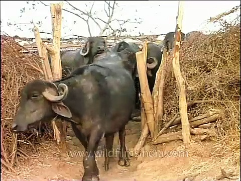 Water buffalo calf squeezing past to get out of its shed, Gujarat