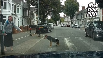Dog stops to pee in the middle of the crosswalk