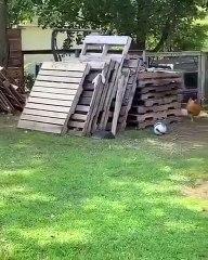 Une poule et un chien joue à cache-cache