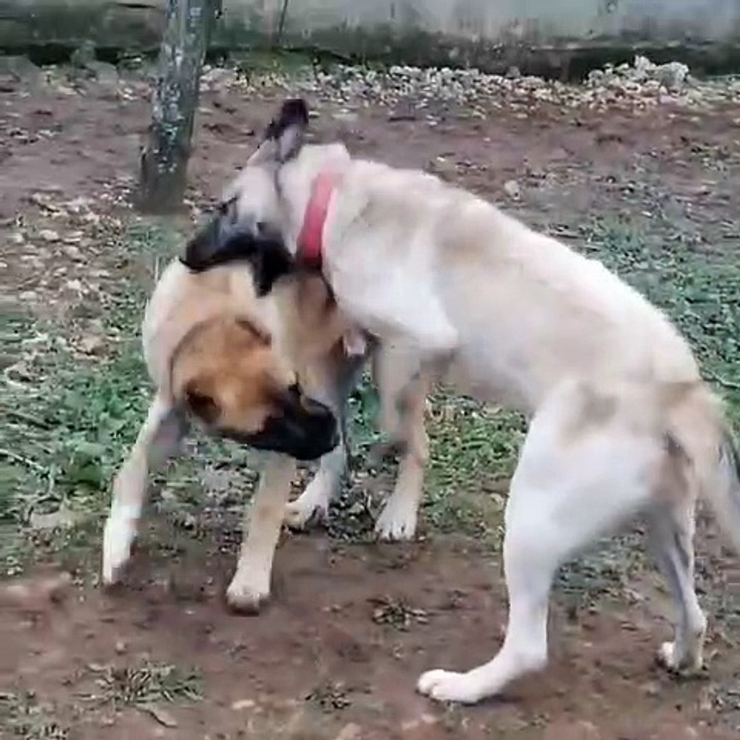 KANGAL ve COBAN KOPEKLERi SEViMLi VS - KANGAL DOG and SHEPHERD DOG SWEET VS
