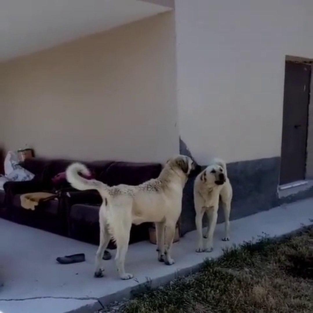 ANADOLU COBAN KOPEKLERi KISA ANLASMAZLIK - ANATOLiAN SHEPHERD DOGS vs