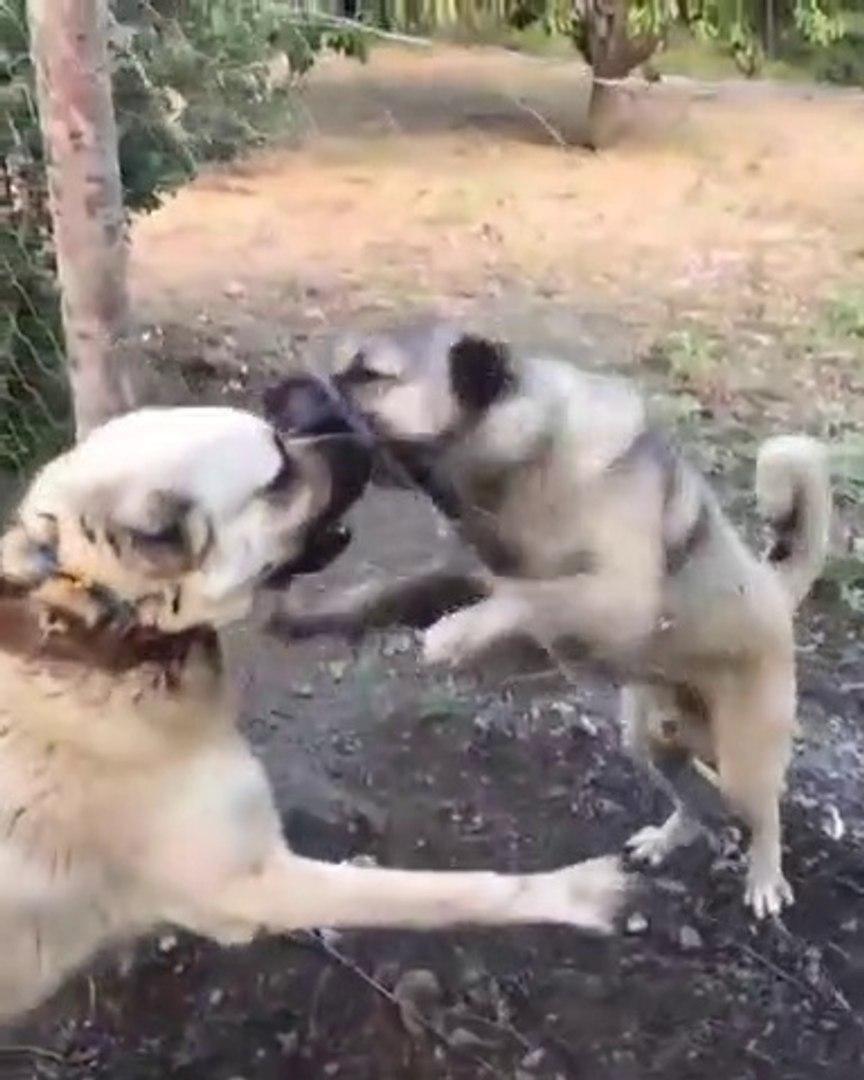 KANGAL KOPEGi vs COBAN KOPEGi - KANGAL DOG vs SHEPHERD DOG