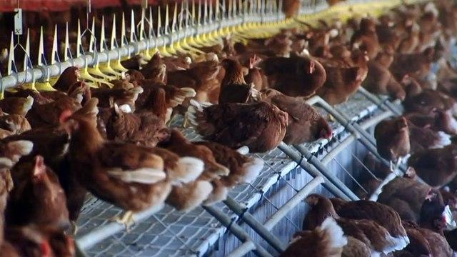 Victoria battling worst ever bird flu outbreak