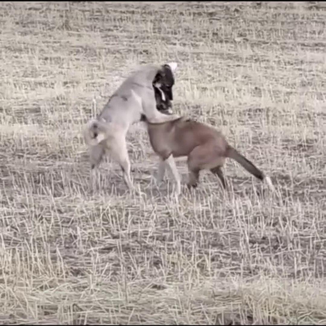 COBAN KOPEKLERİ YAVRULARI SEViMLi VS - SHEPHERD DOG PUPPiES VS SWEET