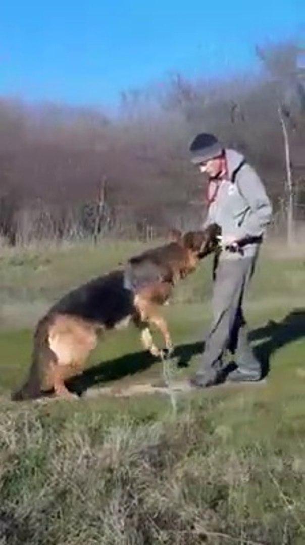 ALMAN COBAN KOPEGi k9 EGiTiMi - GERMANY SHEPHERD DOG EDUCATiON