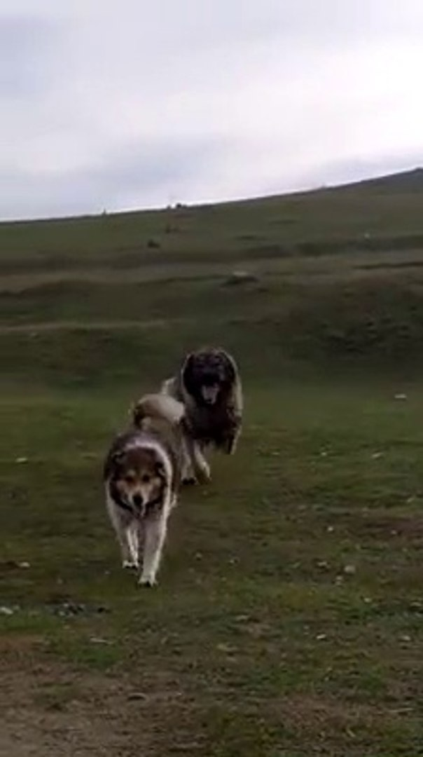 KAFKAS COBAN KOPEKLERi MERADA OYUNDA - CAUCASiAN SHEPHERD DOGS PLAY GAME