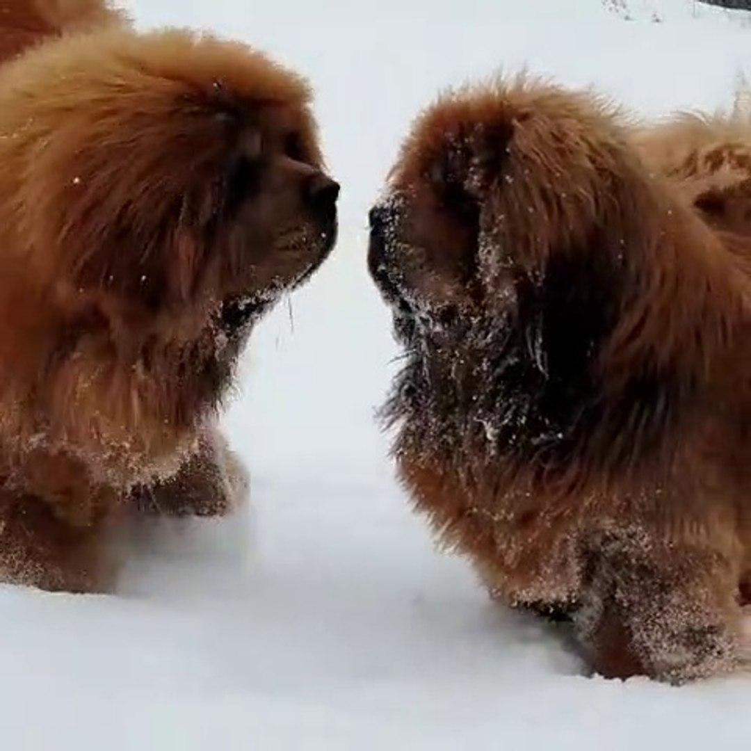 TiBET MASTiFi COBAN KOPEKLERi KAR HEYECANI - TiBETiAN MASTiFF SHEPHERD DOG GAME PLAY SNOW