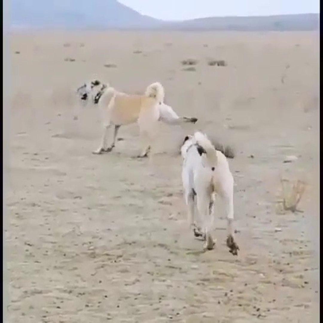 MERADA 4*4 COBAN KOPEGi ve KANGAL - 4*4 ANATOLiAN SHEPHERD DOG and KANGAL DOG