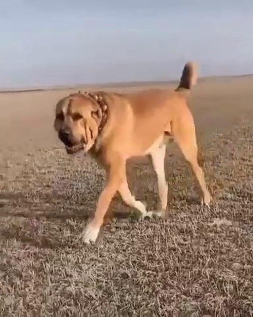 DEV COBAN KOPEGi LiON - GiANT ANATOLiAN SHEPHERD DOG LiON