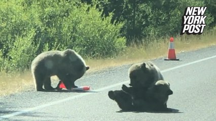 Bear vs. traffic cone: Grizzly cubs wrestle in the road at Grand Teton