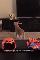 Cat Gets Spooked by Fake Kitty Skeleton put up for Halloween Decor