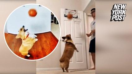 This corgi's trick shots are a slam dunk