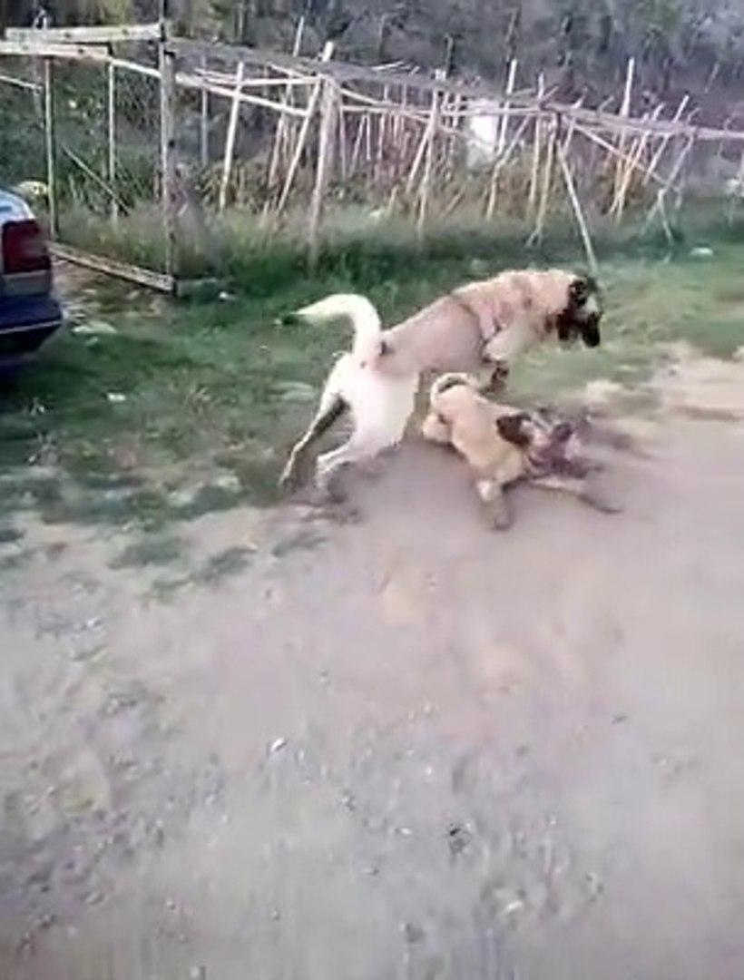 SiVAS KANGAL KOPEKLERi OGLEN ISINMALARI - KANGAL SHEPHERD DOG NOON EXERCiSE