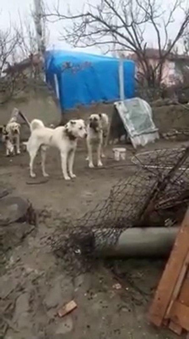 AKBAS ve COBAN KOPEGi MESAFELi ATISMA - AKBASH DOG and SHEPHERD DOG DiSTANT VS