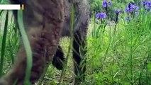 trail-camera-spots-elusive-lynx