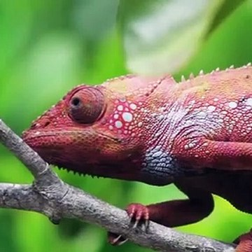 Chameleon rainbow color changing amazing video must watch this beauty
