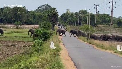 Traffic halts on Sri Lanka road as huge herd of elephants cross en masse